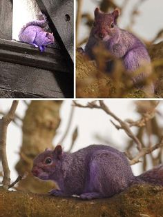 Grape Friends: 10 Amazing Purple Animals | WebEcoist. Pete the purple squirrel!
