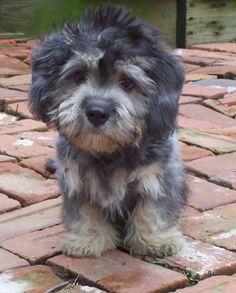 35 Best Dan Dinmont Terrier Images
