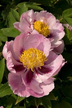 Tree Peony---that would be so cool a tree of peony flowers