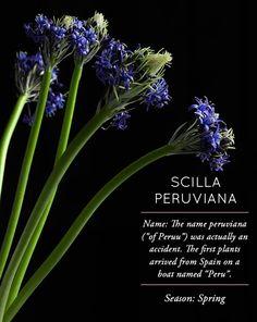 Flower Glossary: Scilla Peruviana