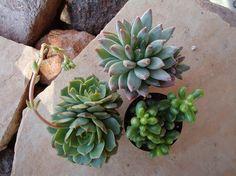 3 Succulent Plants Great For Terrariums by SucculentDESIGNS