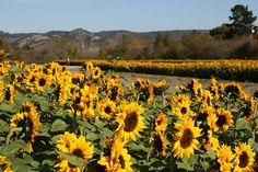 Avila Valley Barn Sunflowers