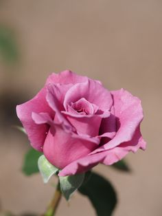 Rose, Lavande, バラ, ラバンデ,