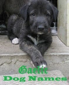If you are looking for an authentic Irish name, here are some great choices that are easy to pronounce. These names are great for an Irish Wolfhound, Kerry Blue Terrier, Irish Setter, or another dog. Cute Puppies, Cute Dogs, Dogs And Puppies, Doggies, Big Dogs, I Love Dogs, Irish Dog Breeds, Baby Animals, Cute Animals