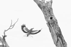 High key image of a Lilacbreasted Roller flying to its nest near Letaba