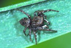 Sitticus caricis  Sedge Jumper Spiders, Jumper, Spider, Jumpers, Sweater