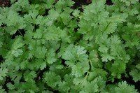 Growing cilantro - or coriander as it is also called - is not rocket science. In my permaculture garden cilantro grows itself. Growing Coriander, Cilantro Growing, Cilantro Plant, Coriander Cilantro, Grow Turmeric, Herb Garden, Garden Fun, Garden Ideas, Growing Herbs