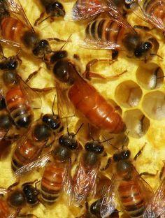 Ape regina sul favo circondata da api operaie, apis mellifera