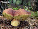 hřib borový (Boletus pinophilus).......... http://houby.naturfoto.cz/kategorie-houby.html?druh=houby_hribovite&pozivatelnost=jedly