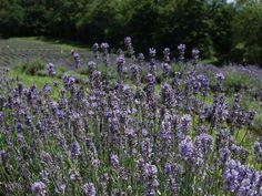 lavender field just beautiful