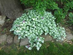 Lamium...for the shade and really brightens up what might be dark areas. There are quite a few great varieties.