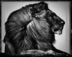 Photo Crinière de lion - Laurent Baheux                                                                                                                                                     Plus