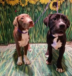 16-422 - URGENT - TOWN OF BABYLON ANIMAL SHELTER in West Babylon, NY - ADOPT OR FOSTER - Female PUPPY Brown Pit Bull Terrier