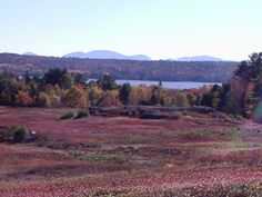 Maine blueberry barren with the mountains of Acadia National Park off in the distance.