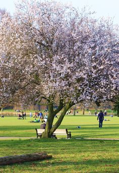 Blossom in Clissold Park