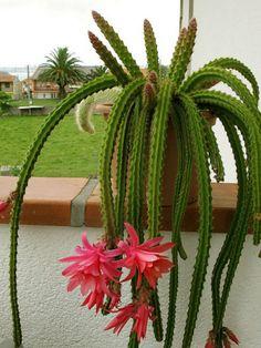 Disocactus x mallisonii (Rat's Tail Cactus) - Kaktus Succulent Terrarium, Cacti And Succulents, Planting Succulents, Cactus House Plants, Cacti Garden, Rat Tail Cactus, Cactus Plante, Desert Cactus, Cactus Flower