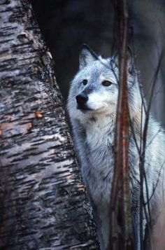 The fun-loving but serious wolf speaks to the mix of strange things that I am. I will always feel akin to them.  ~Charlotte (PixieWinksFairyWhispers)