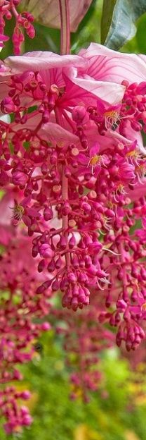 Medinilla magnifica, showy medinilla,commonly known as the Philippine orchid, is an epiphyte. Order: Myrtales Family: Melastomataceae Genus: Medinilla Species: M. magnifica