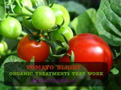 Tomato Blight: Organic Treatment for Early and Late Blight