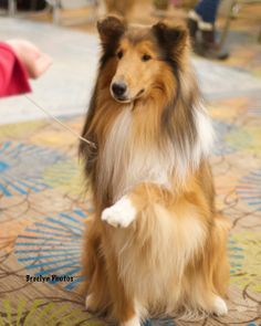 Rough Collies on Pinterest | Rough Collie, Blue Merle and Collie Dog