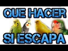 Que hacer si se escapa un pájaro ( Periquito, Agaporni, Ninfa o Canario )