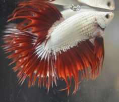 Beautiful red dragon crowntail with short tail