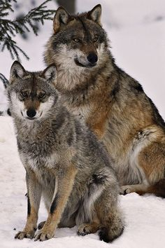 Wolves:  I like this shot.   Come see me on Amazon; Ann Wilson Paranormal
