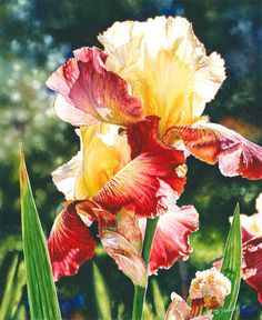 Iris watercolor painting of a bearded red and yellow iris. Painted from a garden in Billings, Montana. Original sold, prints available as framed prints and canvas wraps. Watercolor Paintings Nature, Iris Painting, Watercolor Print, Watercolor Flowers, Watercolor Journal, Watercolours, Watercolor Background, Botanical Art, Flower Art