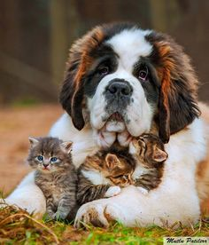 Saint Bernard Dog with Kittens Canvas Wall Art 24 x 18 inches Pension Pour Chat, Cute Baby Animals, Funny Animals, Funniest Animals, Crazy Animals, Wild Animals, St Bernard Dogs, Tier Fotos, Cute Animal Pictures