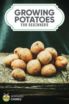 Growing Potatoes: A Beginner's Guide to Planting Big & Healthy Potatoes Who doesn't like potatoes? Learn how you can plant and grow potatoes easily in your backyard garden. Vegetable Garden Planner, Vegetable Garden For Beginners, Starting A Vegetable Garden, Gardening For Beginners, Gardening Tips, Vegetable Gardening, Gardening Quotes, Gardening Books, Flower Gardening