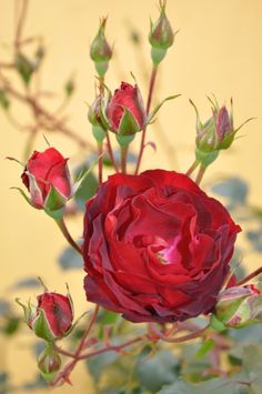 ...dad's roses in his rose garden