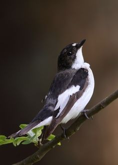 The European Pied Flycatcher (Ficedula hypoleuca) is a small passerine bird in the Old World flycatcher family, one of the four species of Western Palearctic black-and-white flycatchers. It breeds in most of Europe and western Asia. It is migratory, wintering mainly in western Africa.