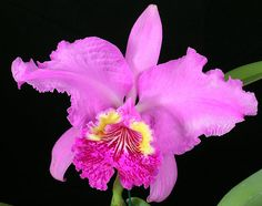 Cattleya lueddemanniana | Blooming 2/16/2006 | David McCoy | Flickr