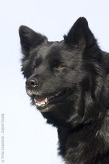 Swedish Lapphund photo | Photos