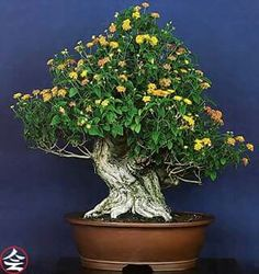 Bonsai… Lantana, 72 jears old - fb page Bonsai Kai