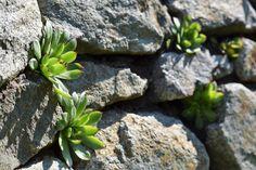 Nedocenené krásky. Ak si všade nastrkáte skalné ruže, neobanujete. Prečítajte si prečo! | Záhrada.sk Plants, Cactus, Plant, Planets