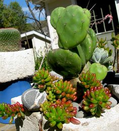 jelly bean sedums and opuntia, October 2012 | Flickr - Photo Sharing!