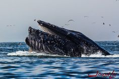 Humpback Whales in Avila Beach, CA video https://vimeo.com/131015149