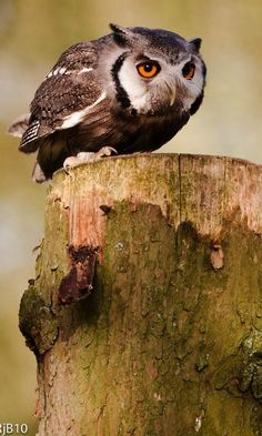 Southern White-faced Owl (Ptilopsis grant) by Rob.