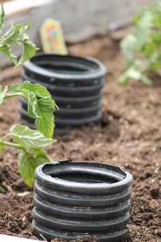"How to ""deep water"" your tomatoes for a killer crop this summer! I think these are called French drainage pipes. Might be cheaper than PVC pipes. (seems a bit easier to get the water in the big hole than a skinny pipe too) just have to cover the tops or you'll get a problem w/ mosquitos (-H)"