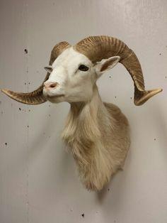 Texas Dall Sheep mount, taxidermy done by the Mad Taxidermist, Rob Reysen www.lakeviewtaxidermy.com