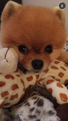 Some dogs are just naturall models. #jiffpom