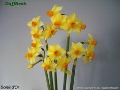 Detail Page – DaffSeek Daffodils, Detail, Plants, Daffodil, Planets