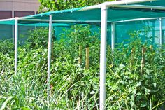PVC and shade cloth to keep tomatoes going in the heat!