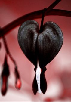 Black Bleeding Heart. Coeur de Marie noirs