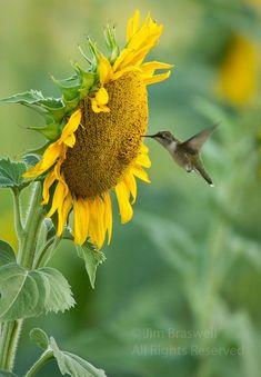 Hummingbird with Sunflower