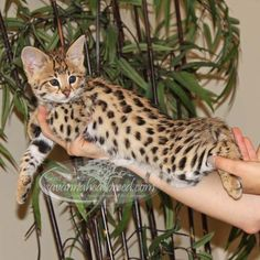 F1 Savannah Kittens For Sale - Select Exotics