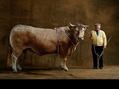 YannArthusBertrand2.org - Fond d écran gratuit à télécharger    Download free wallpaper - Vache Blonde d'Aquitaine