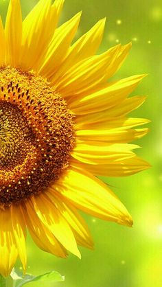 Sun flowers :-)
