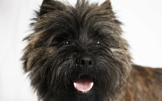 "The Cairn Terrier is one of several related breeds that emerged on the wild, windswept British Isle of Skye and in the Scottish Highlands as early as the 1600s. Originally used for the unglamorous job of clearing vermin from farms, the best-known Cairn ever was a movie star, playing the role of the mischievous canine sidekick in the timeless Hollywood classic, ""The Wizard of Oz. Many people know Toto, but we bet there's a lot about this breed that will come as a surprise, even to die-har..."